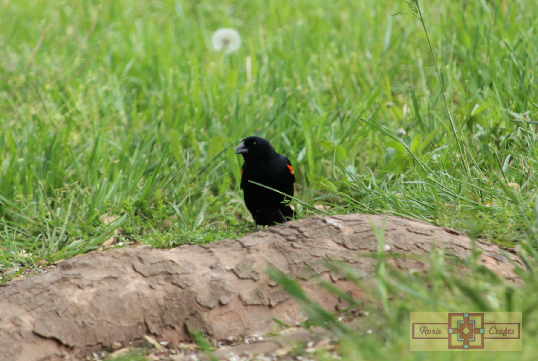 Rosie Crafts Male Red Winged Black Bird Photography