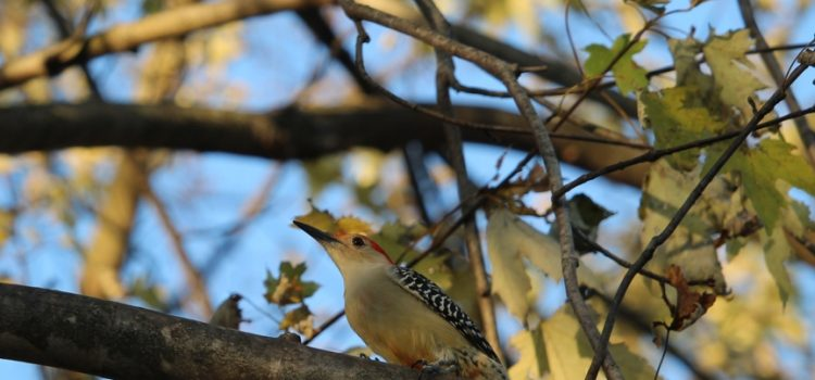 Rosie Crafts Male Red Bellied Woodpecker Photography