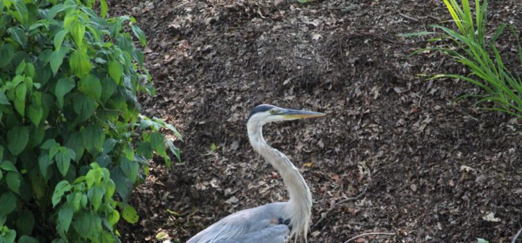 Rosie Crafts Great Blue Heron Photography