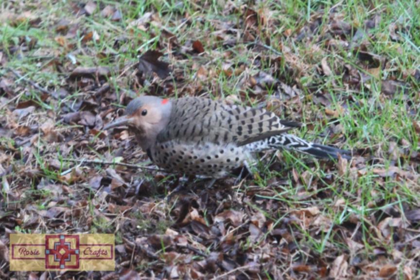 Rosie Crafts Female Northern Flicker Woodpecker Photography