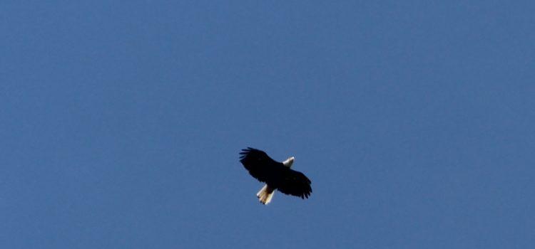 Rosie Crafts Eagle Bird Photography