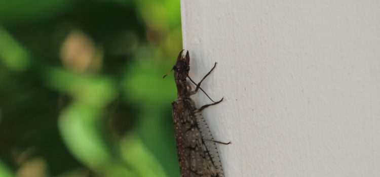 Rosie Crafts Dobsonfly Insect Photography