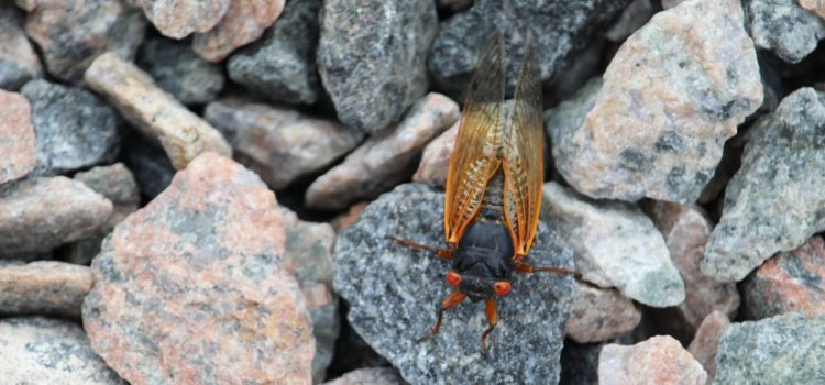 Rosie Crafts Cicada Insect Photography