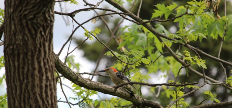 Rosie Crafts Female Red Bellied Woodpecker Photography