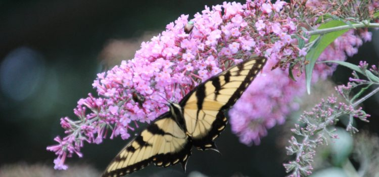 Rosie Crafts Eastern Yellow Swallowtail Photography